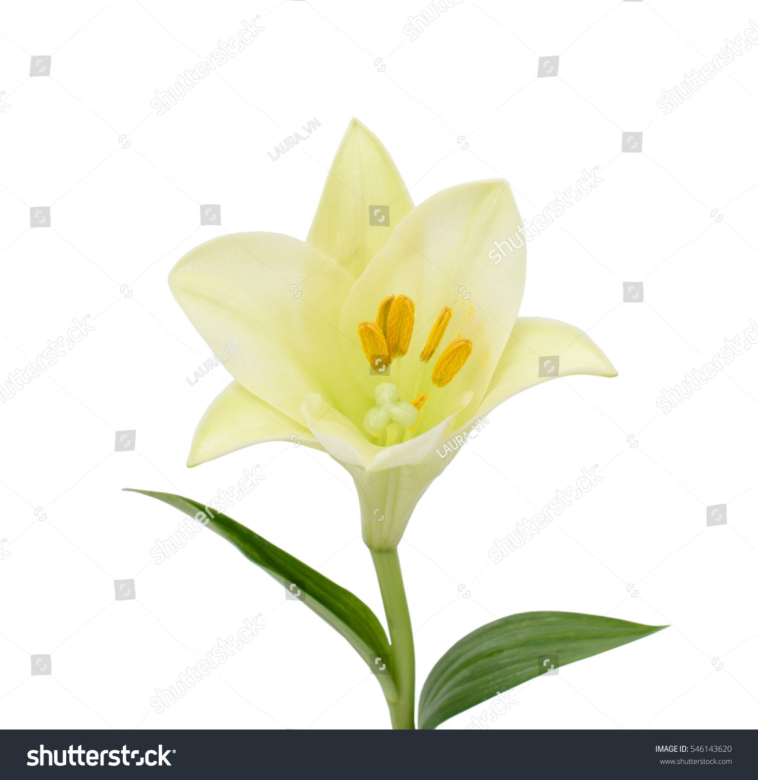Beautiful white easter lily flower isolated on white background ez id 546143620 izmirmasajfo