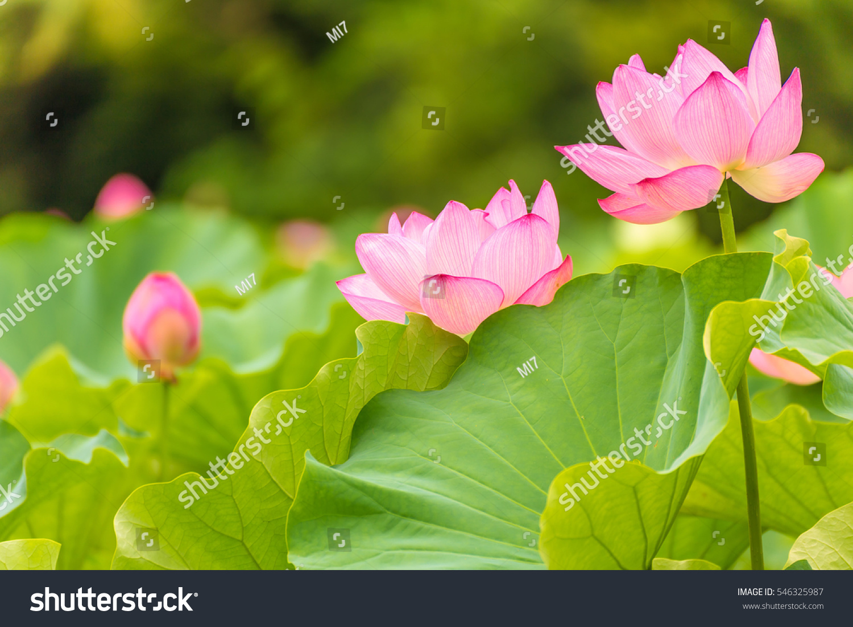 Lotus flowerbackground lotus leaf lotus flower stock photo edit now the lotus flowerckground is the lotus leaf and lotus flower and lotus bud and izmirmasajfo