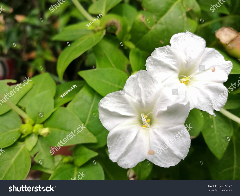 White Four Oclock Flower Scientific Name Stock Photo Edit Now