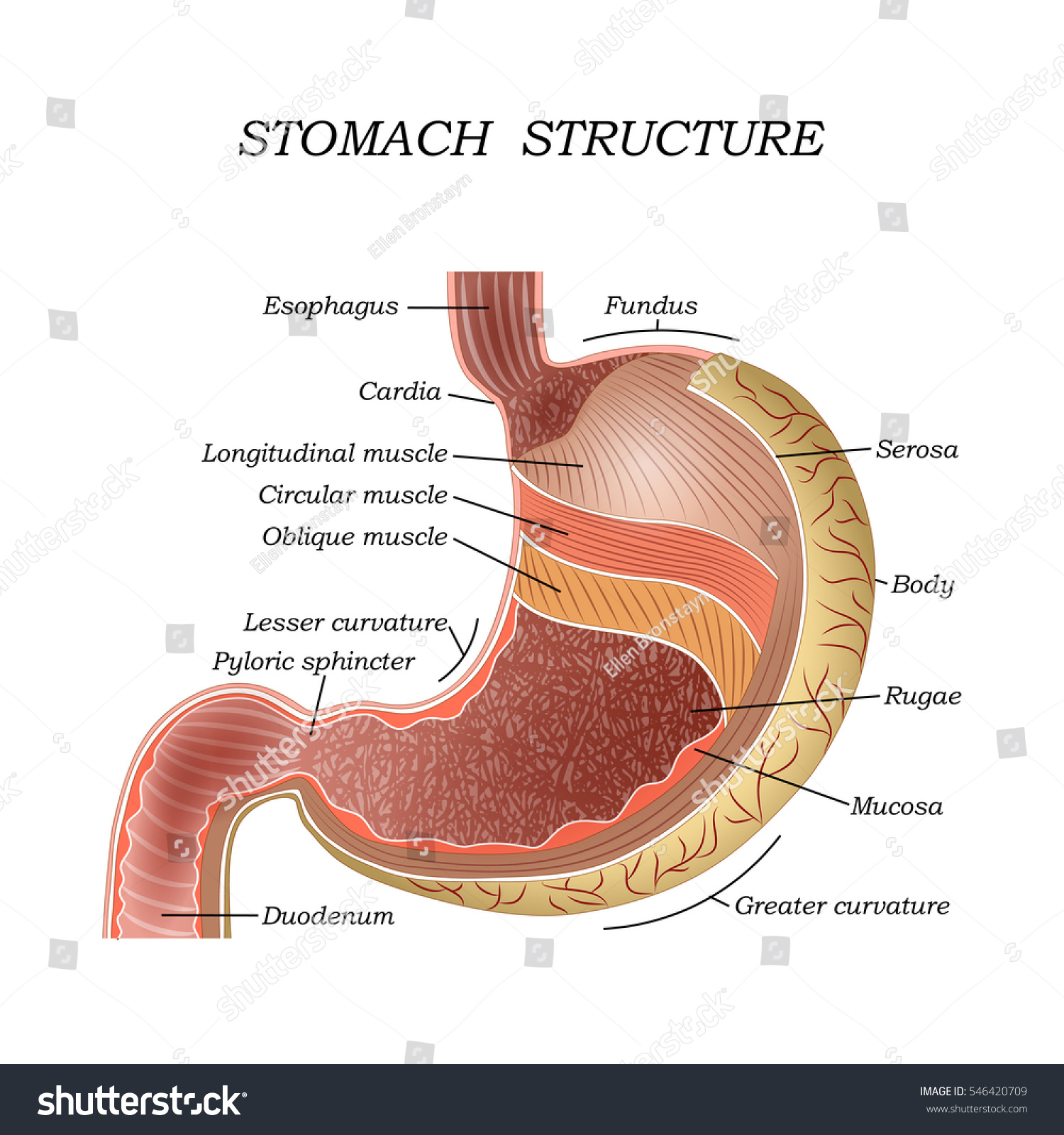 Structure Human Stomach Training Medical Anatomical