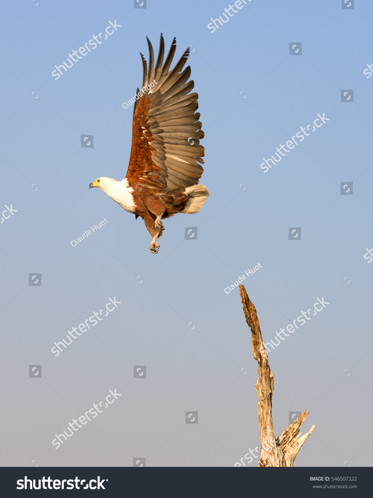 An African fish eagle (Haliaeetus vocifer) takes off from a dead tree on the Chobe river between Namibia and Botswana