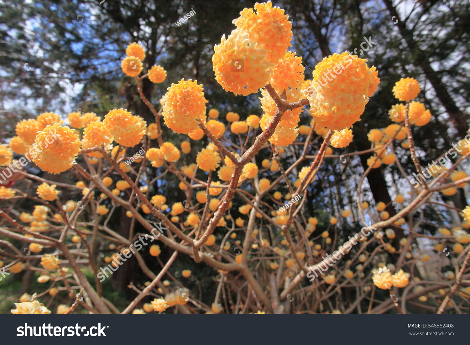 Yellow Ball Flowers Stock Photo Royalty Free 546562408 Shutterstock