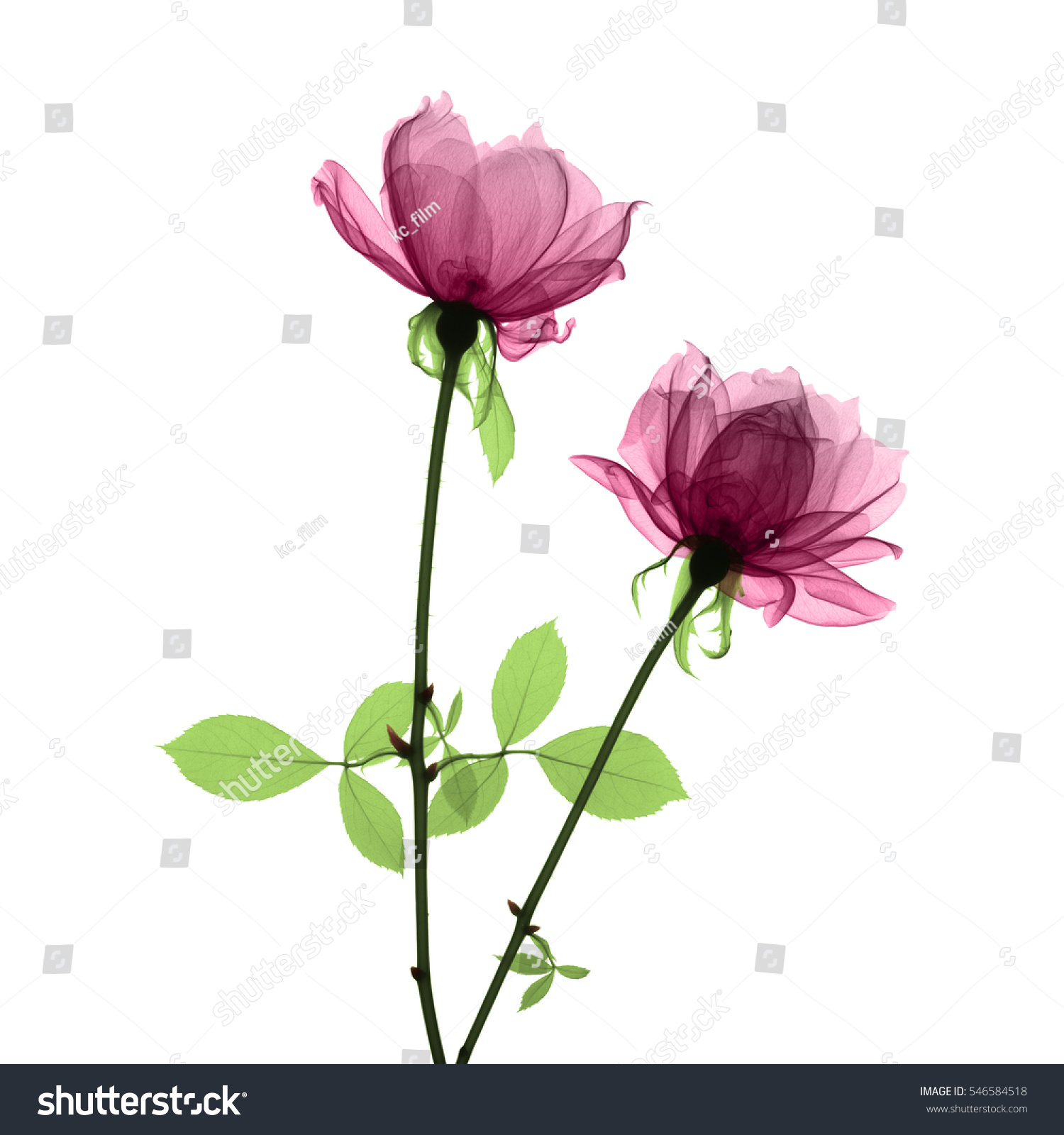 X Ray Of Rose Watercolor Amazing Tattoo For Me Yeti: Pink Roses Xray Stock Photo 546584518