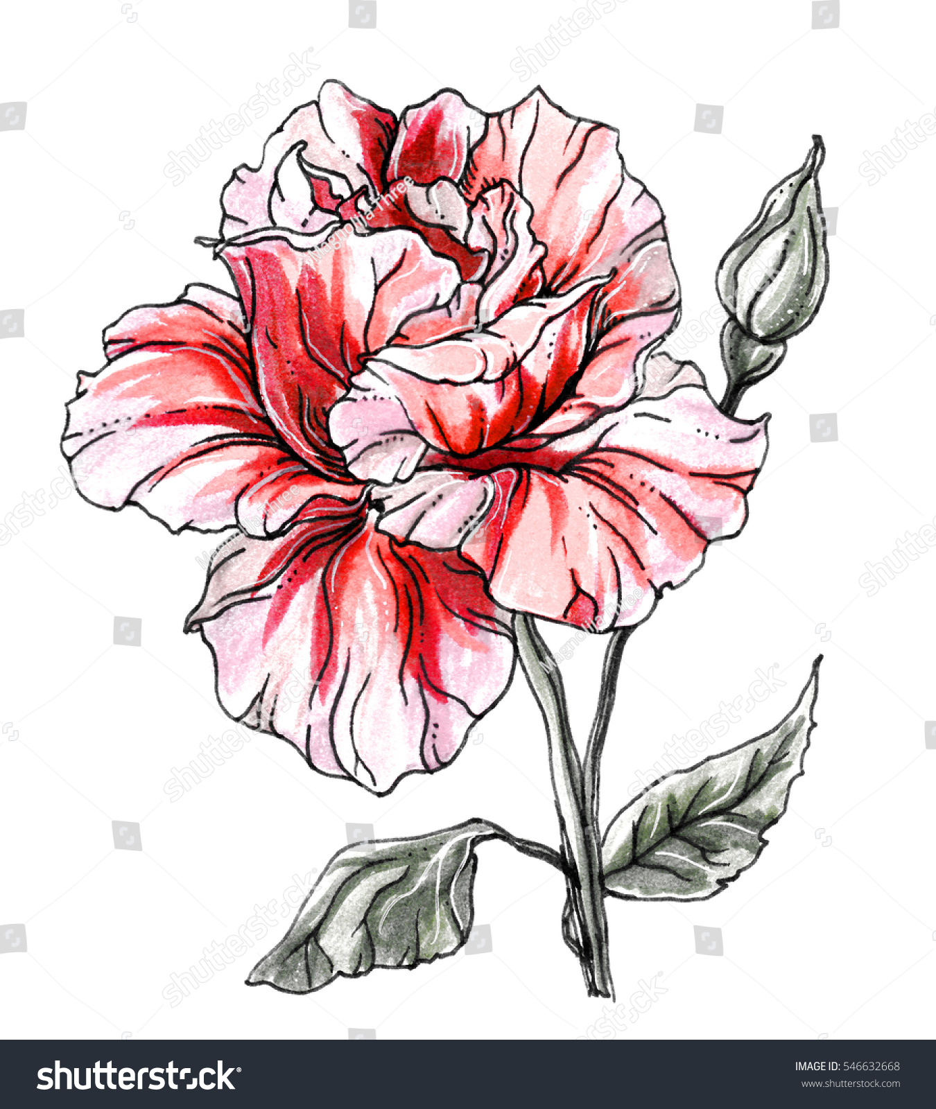 Dark Red Roses Flowers Watercolor Botanical Art Boho: Red Rose Blossom Hand Drawn Decorative Stock Illustration