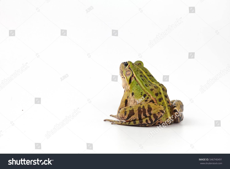 Blackspotted pond frog studio stock photo 546740491 for Frog studio