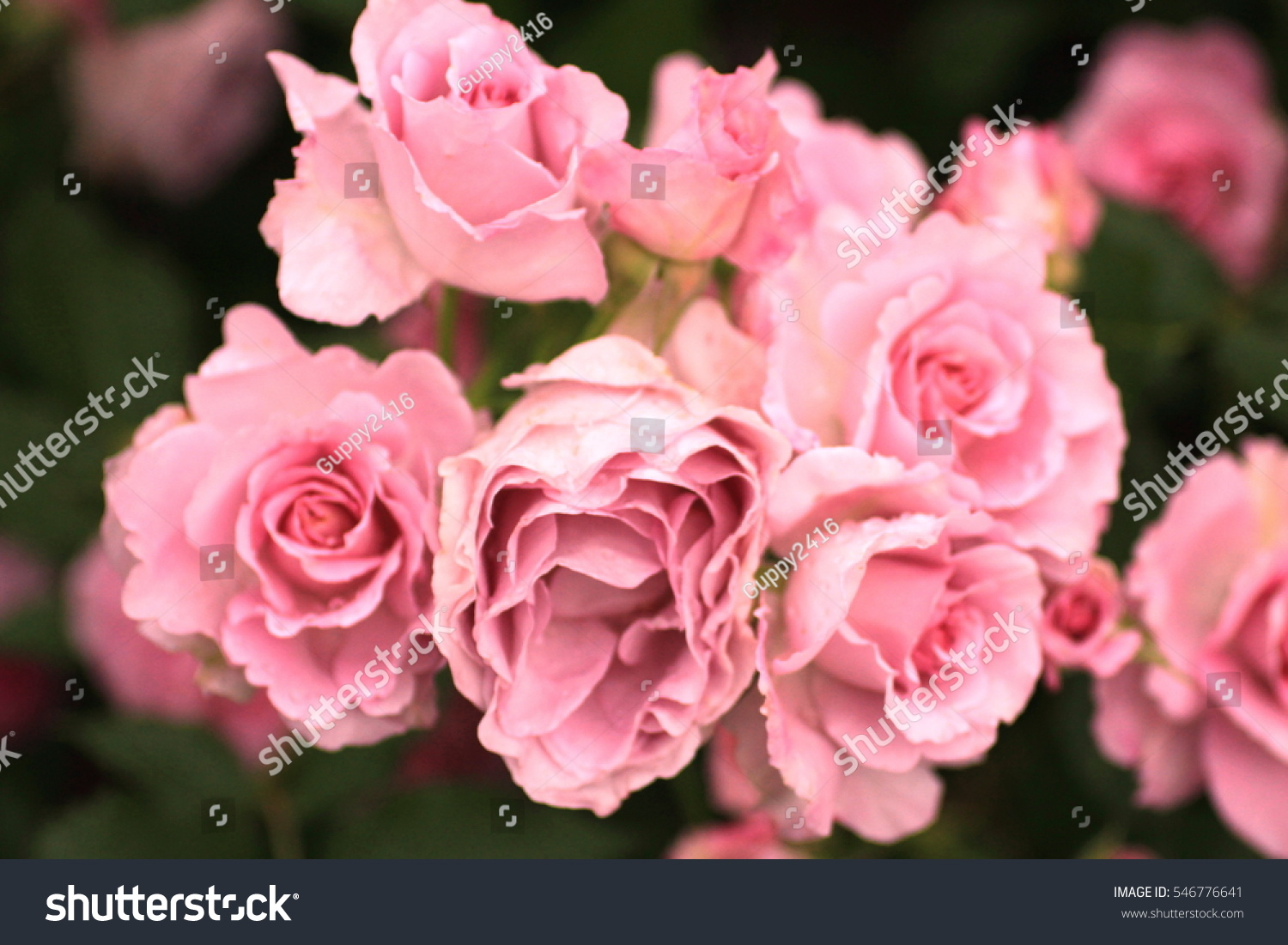 Many roses are arranged in rows as natural background or wallpaper many roses are arranged in rows as natural background or wallpaper ez canvas izmirmasajfo