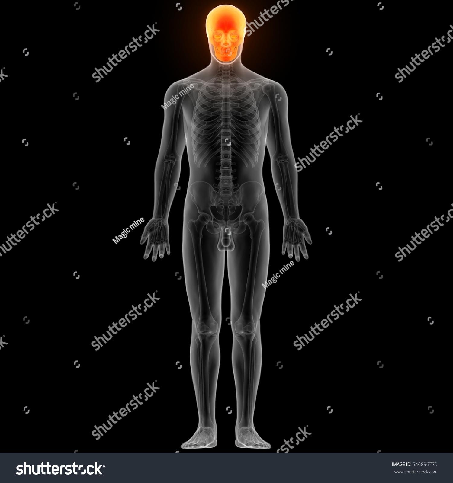 Human Skeleton Skull Anatomy 3 D Stock Illustration 546896770 ...