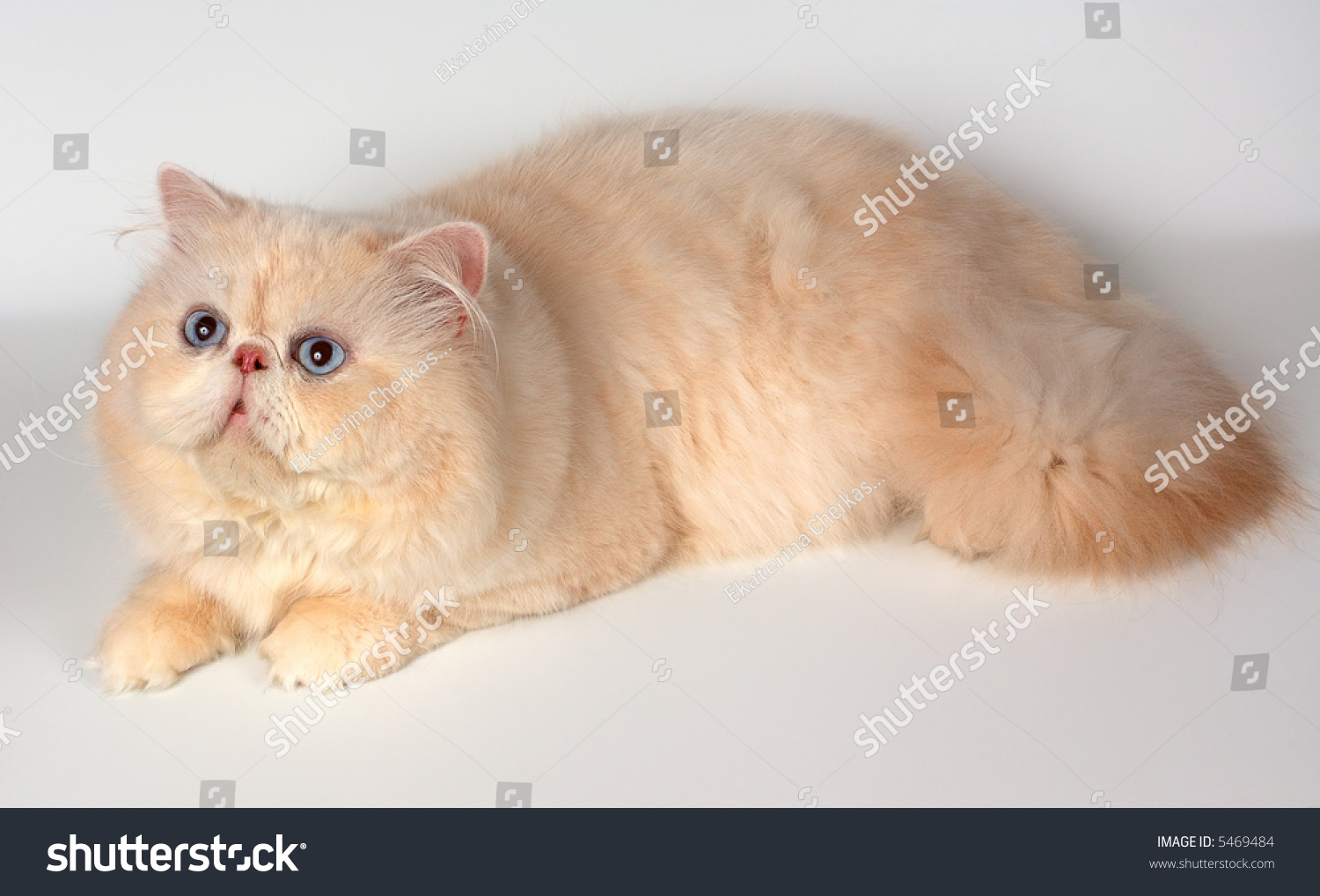 Persian Cat Cream Color Stock Shutterstock