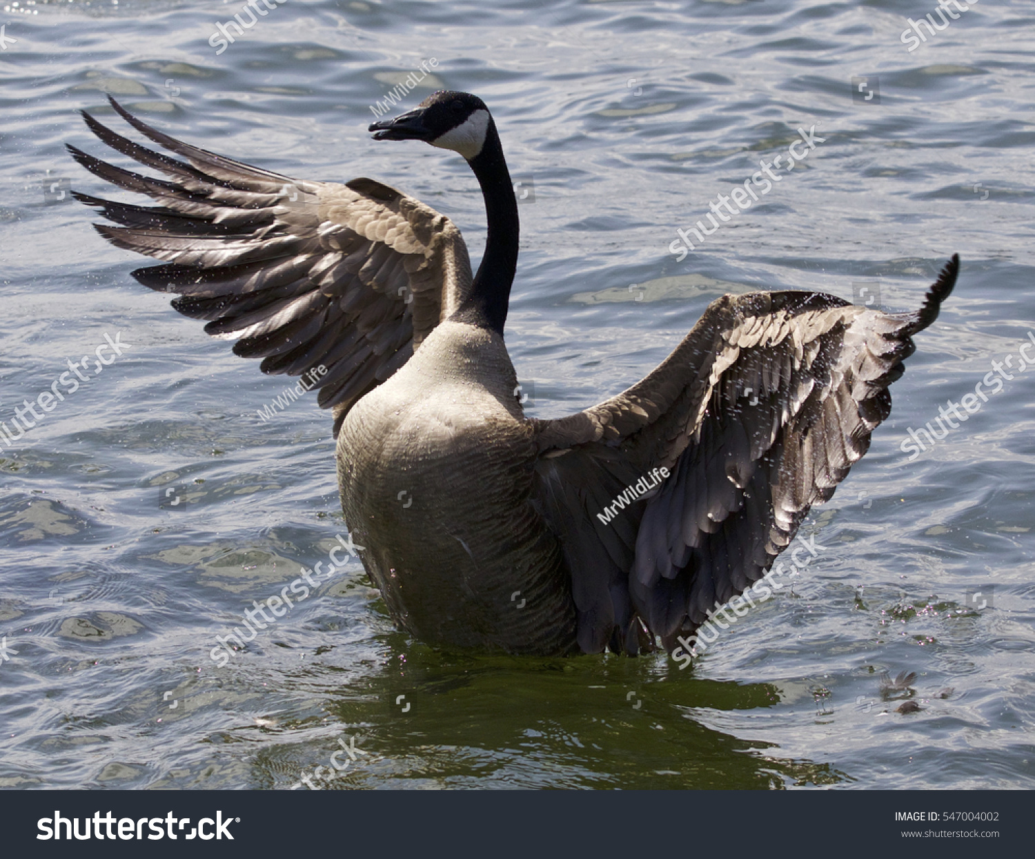 Beautiful isolated photo canada goose stock photo 547004002 beautiful isolated photo of a canada goose biocorpaavc Gallery