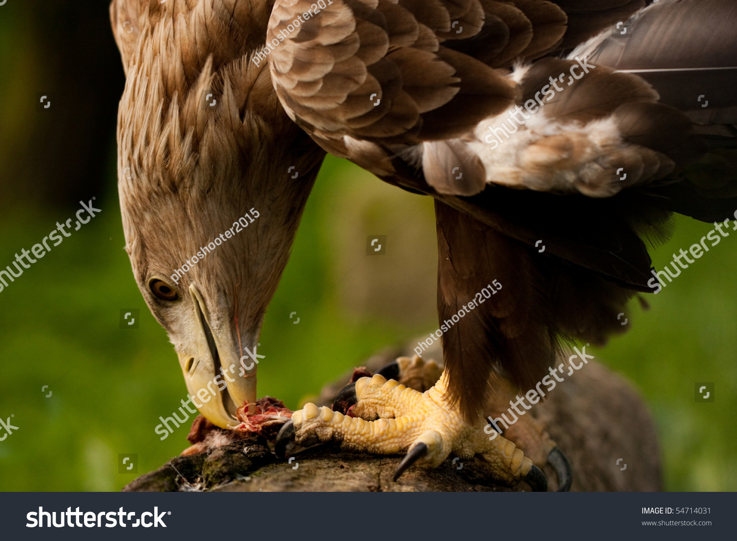 Eagle eating meat - photo#11