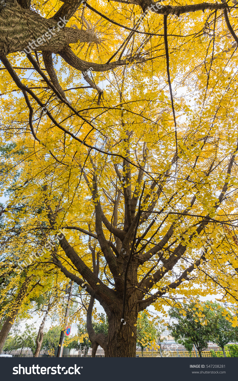 Yellow Ginkgo(maidenhair) Tree and blue sky background in japan | EZ ...
