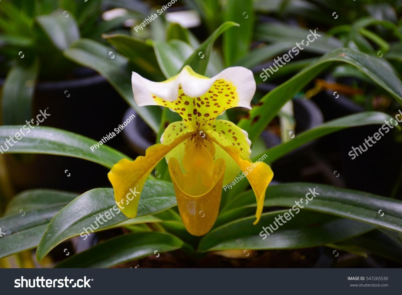 Yellow Lady Slipper Orchid Ez Canvas