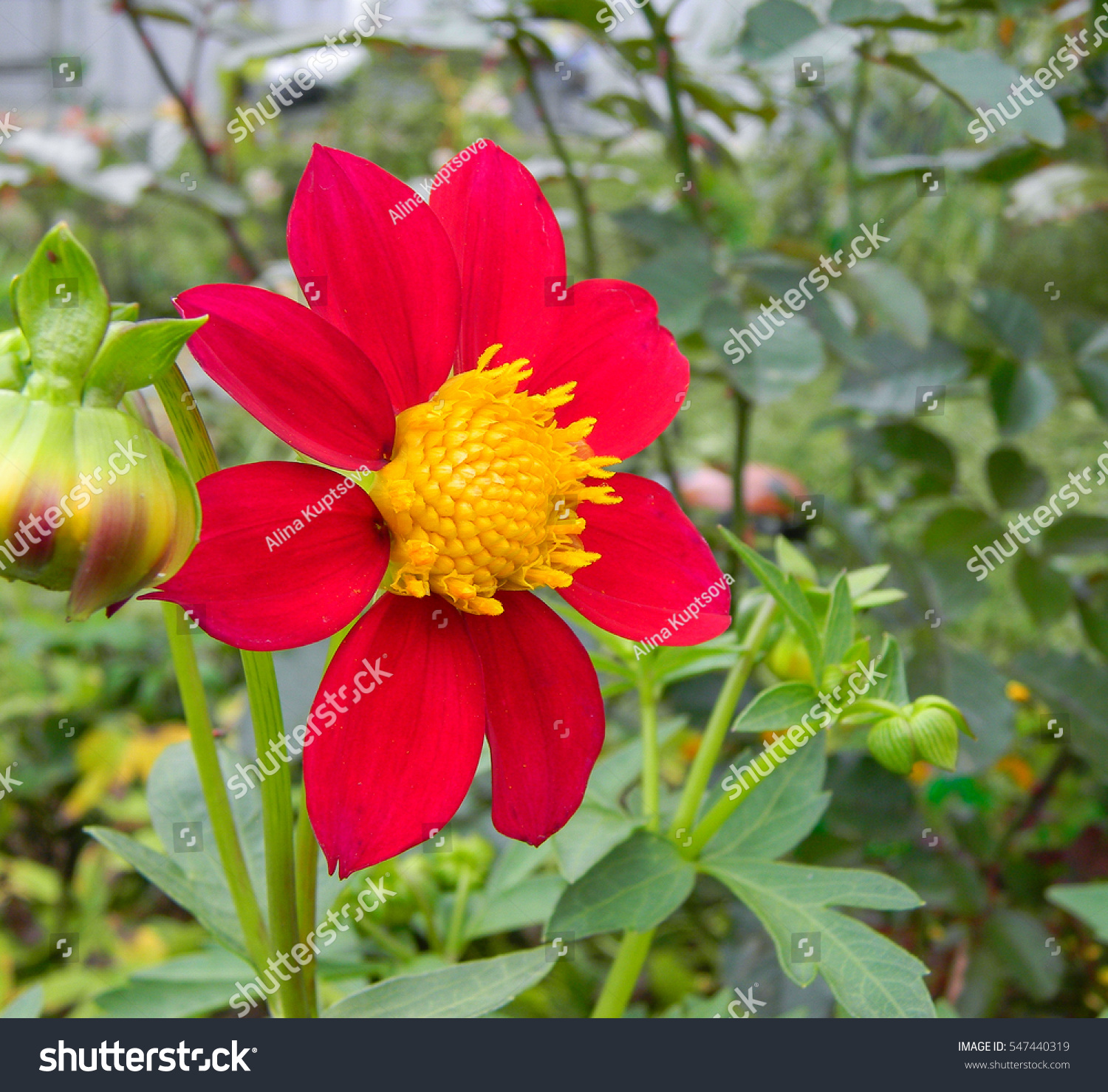 Red Dahlia Flower Close Up Beautiful Stock Photo Royalty Free