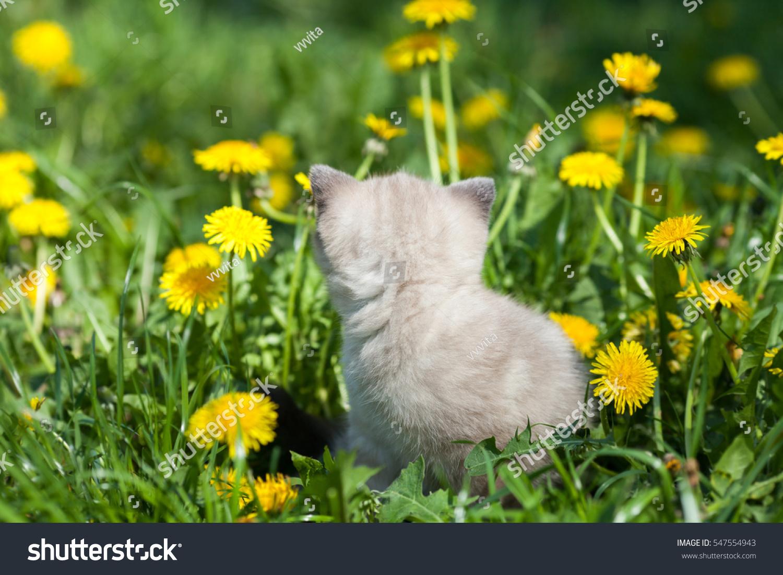 Dreaming Little Kitten Walking Dandelion Lawn Stock Photo Edit Now