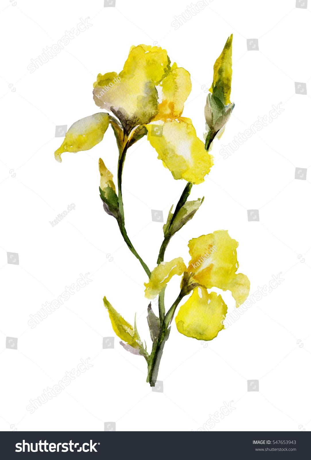 Beautiful yellow iris flowers and buds on white background id 547653943 izmirmasajfo