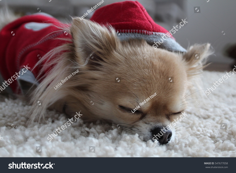 how to keep a chihuahua warm