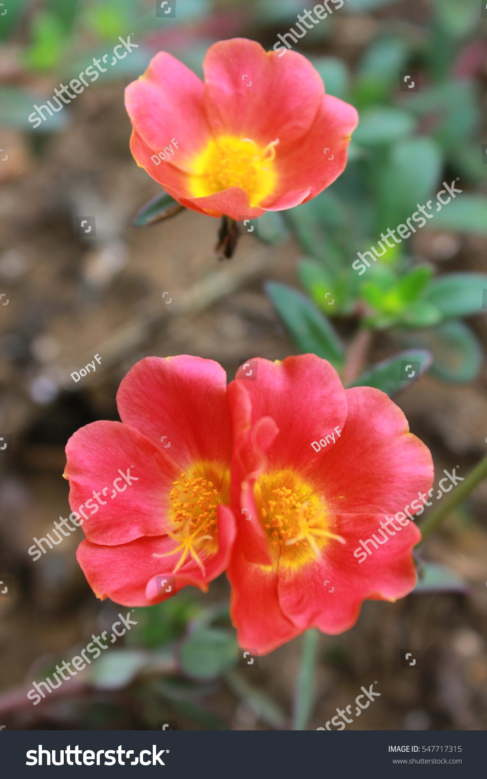 Purslane Portulaca Oleracea Red Coloured Flowers Stock Photo ...
