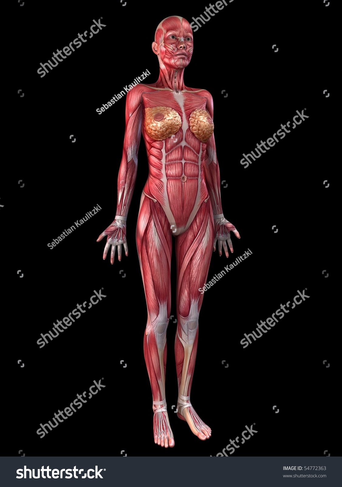 female muscular system stock illustration 54772363 - shutterstock, Muscles
