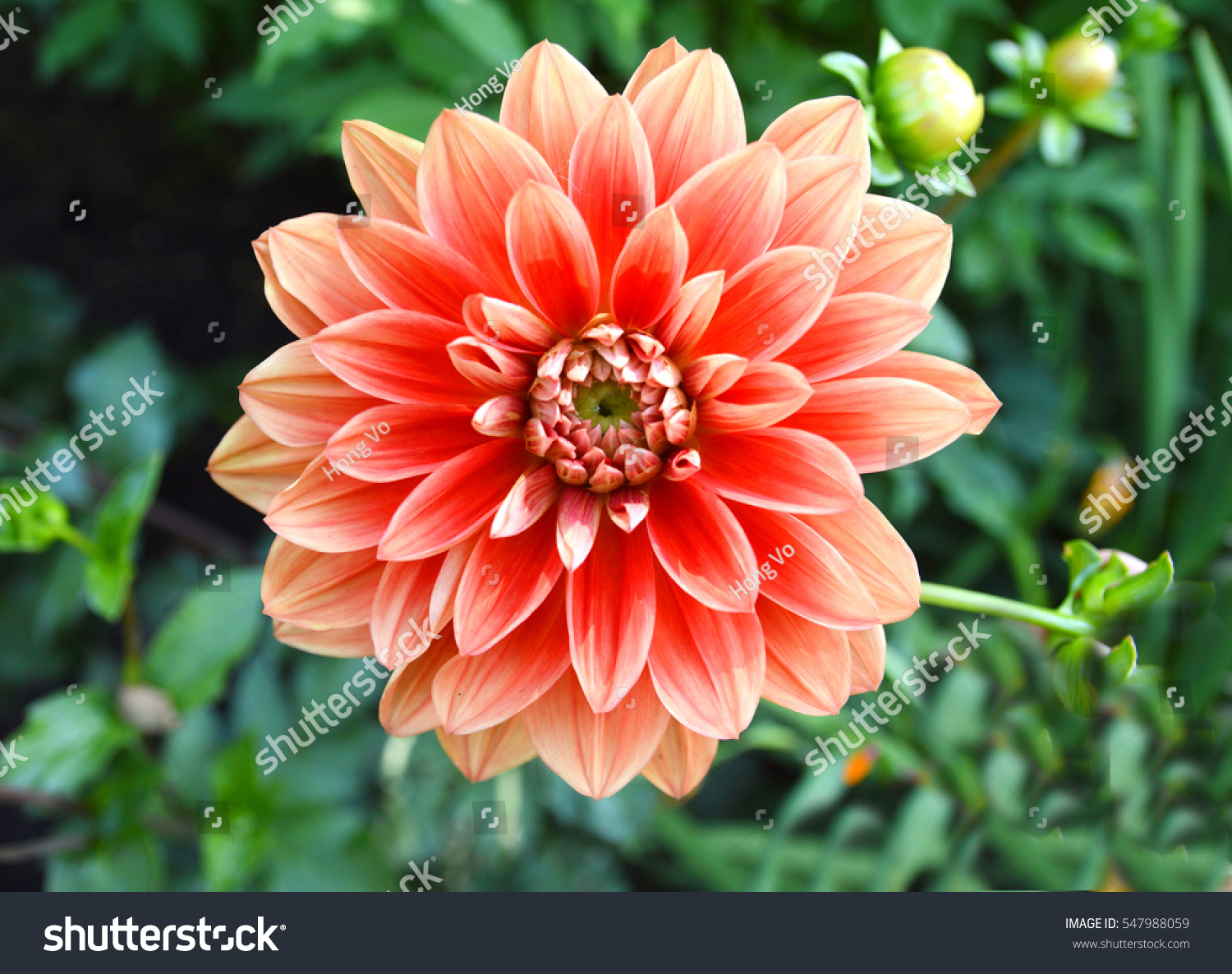 Garden Dahlia Flower Orange Color Stock Photo (Royalty Free ...