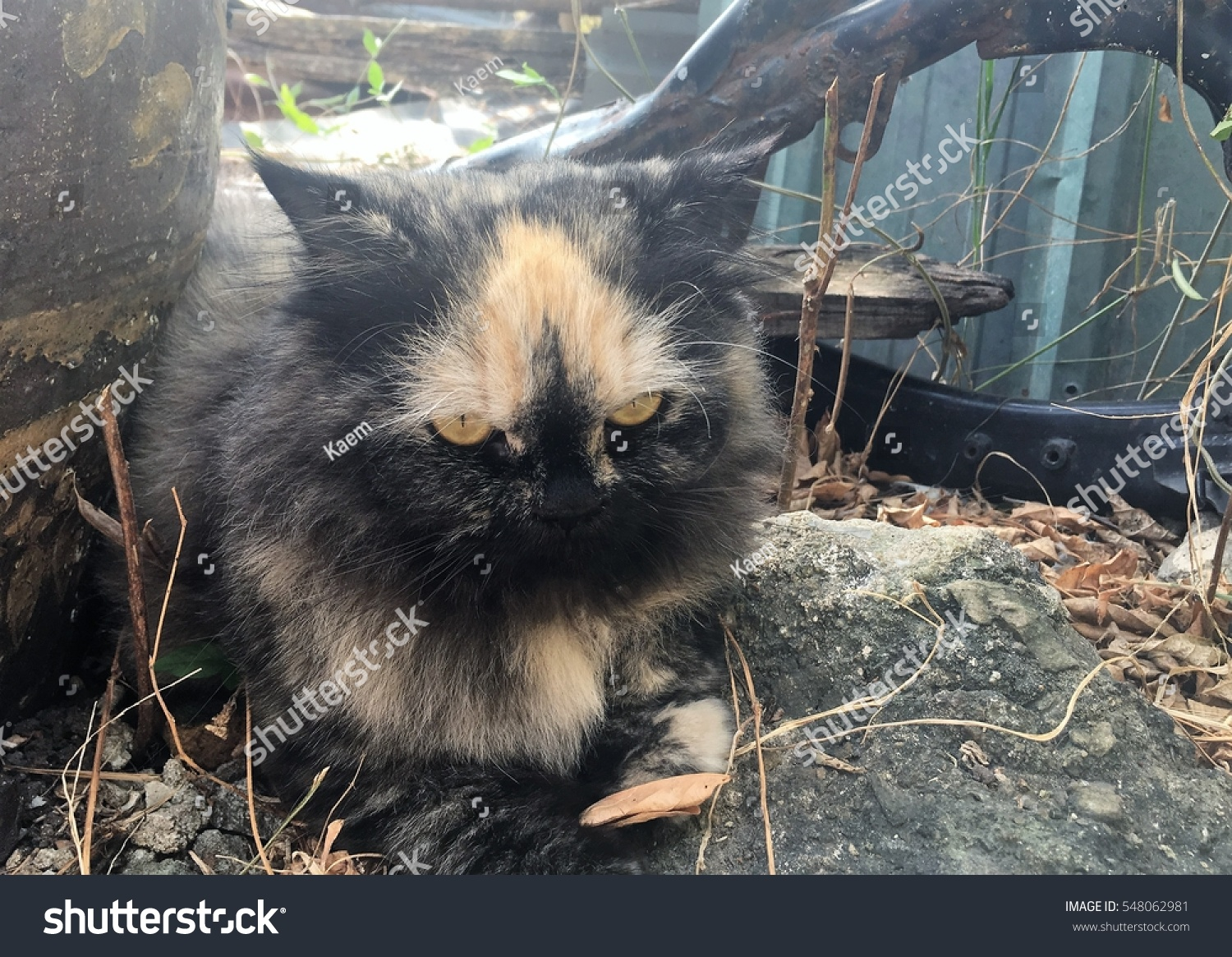 Edit Pictures Free Online - Persian cat | Shutterstock Editor