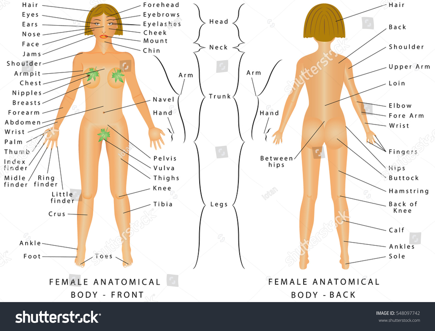 Regions Female Body Female Body Front Stock Vector Royalty Free