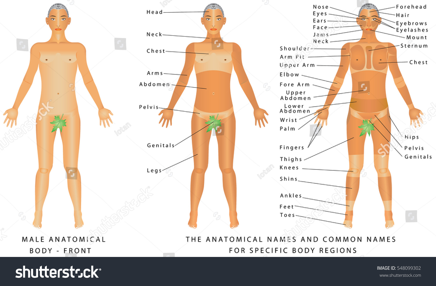 Male Body Front Surface Anatomy Human Stock Vector Royalty Free