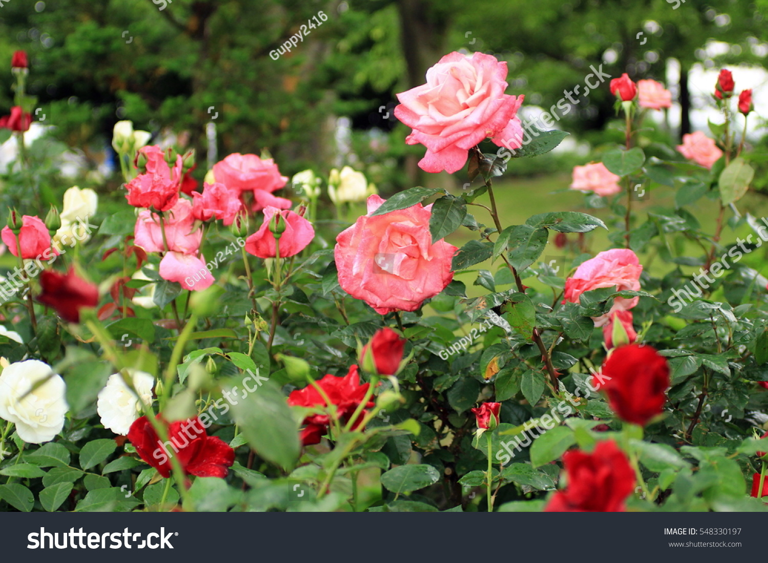 Roses around world rose garden petals stock photo edit now roses around the world rose garden petals wet by rain green leaves izmirmasajfo