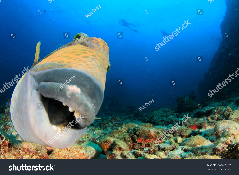 titan triggerfish fish close portrait scuba stock photo 548466637