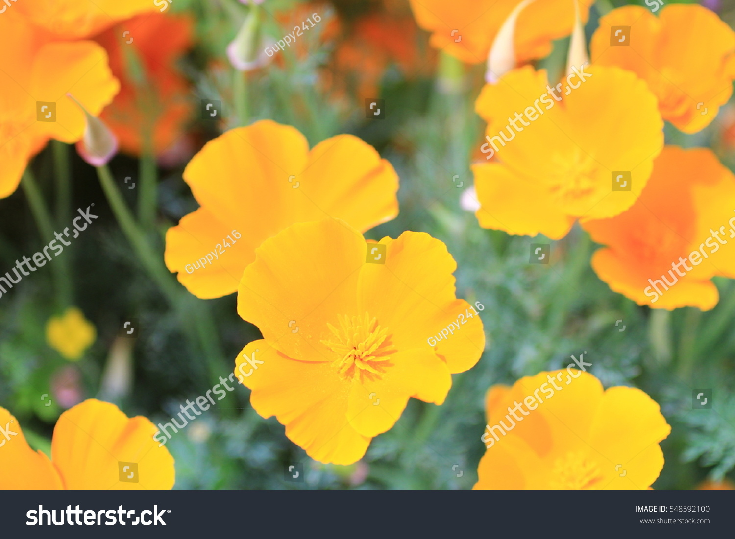 Poppy Blooming On Field Wild Poppies Flowers Poppies In Nature