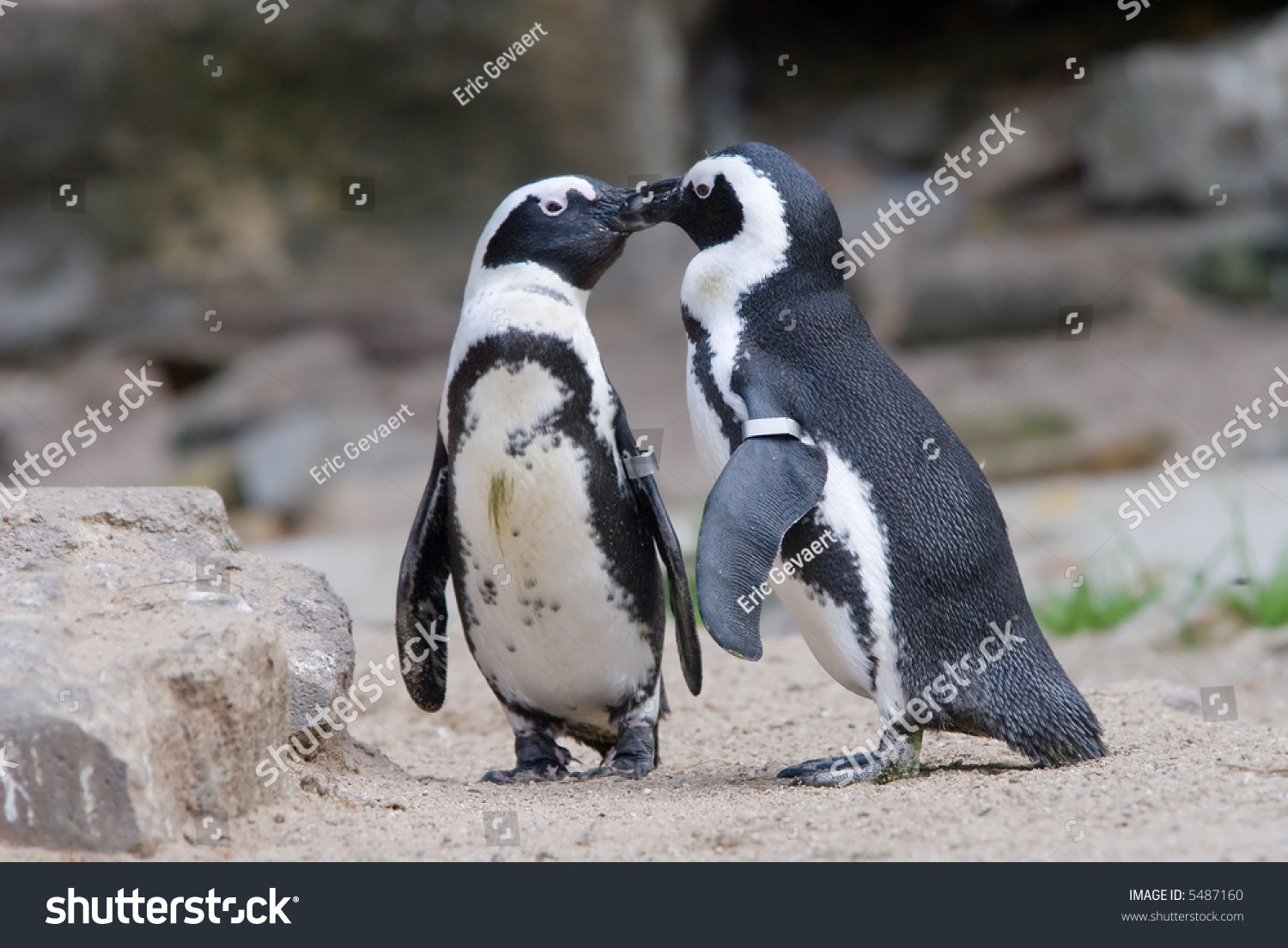 Aninimal Book: Two Penguins In Love And Kissing Stock Photo 5487160 ...