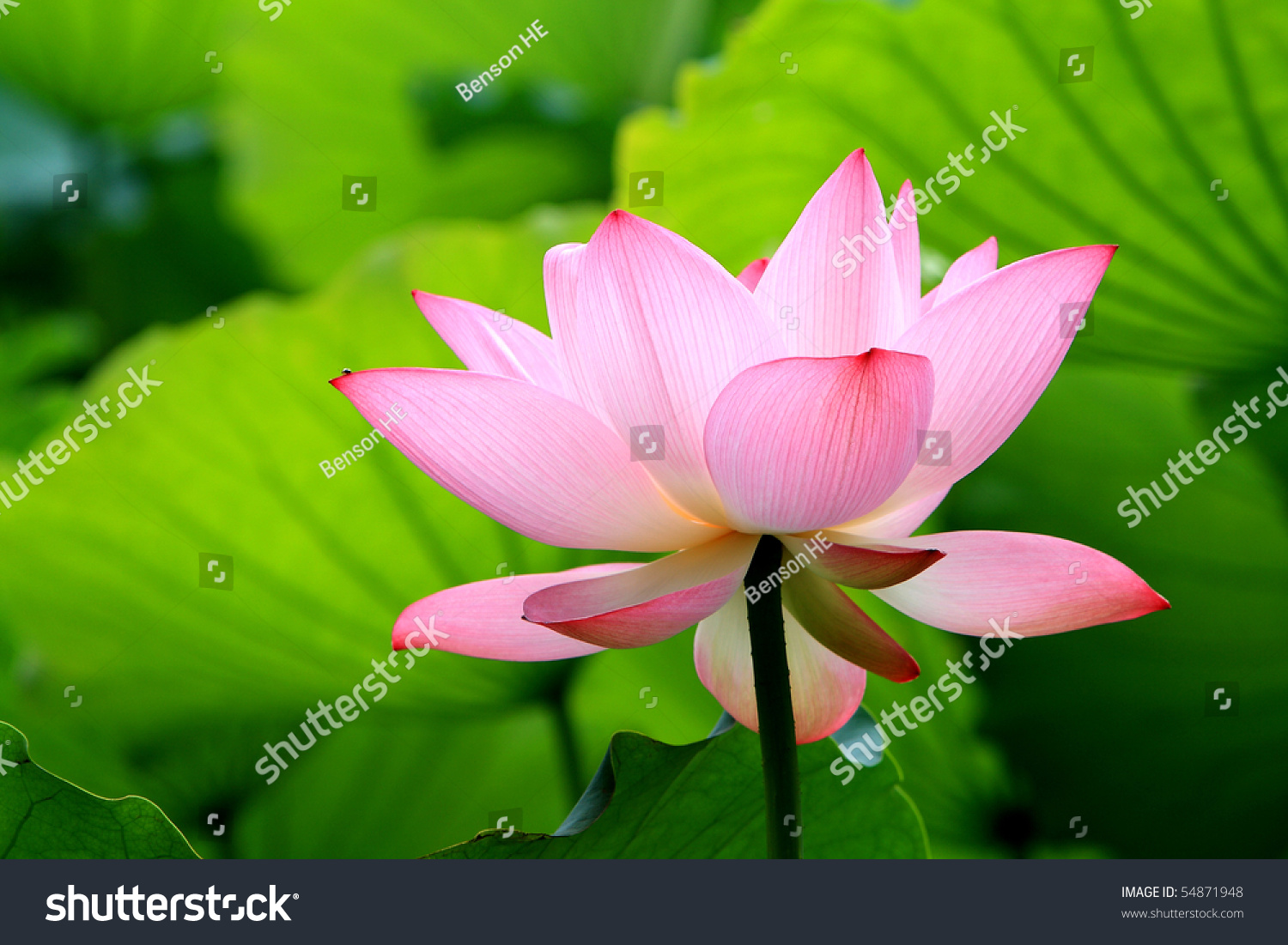 A pink lotus flower blossom among green foliage ez canvas id 54871948 izmirmasajfo