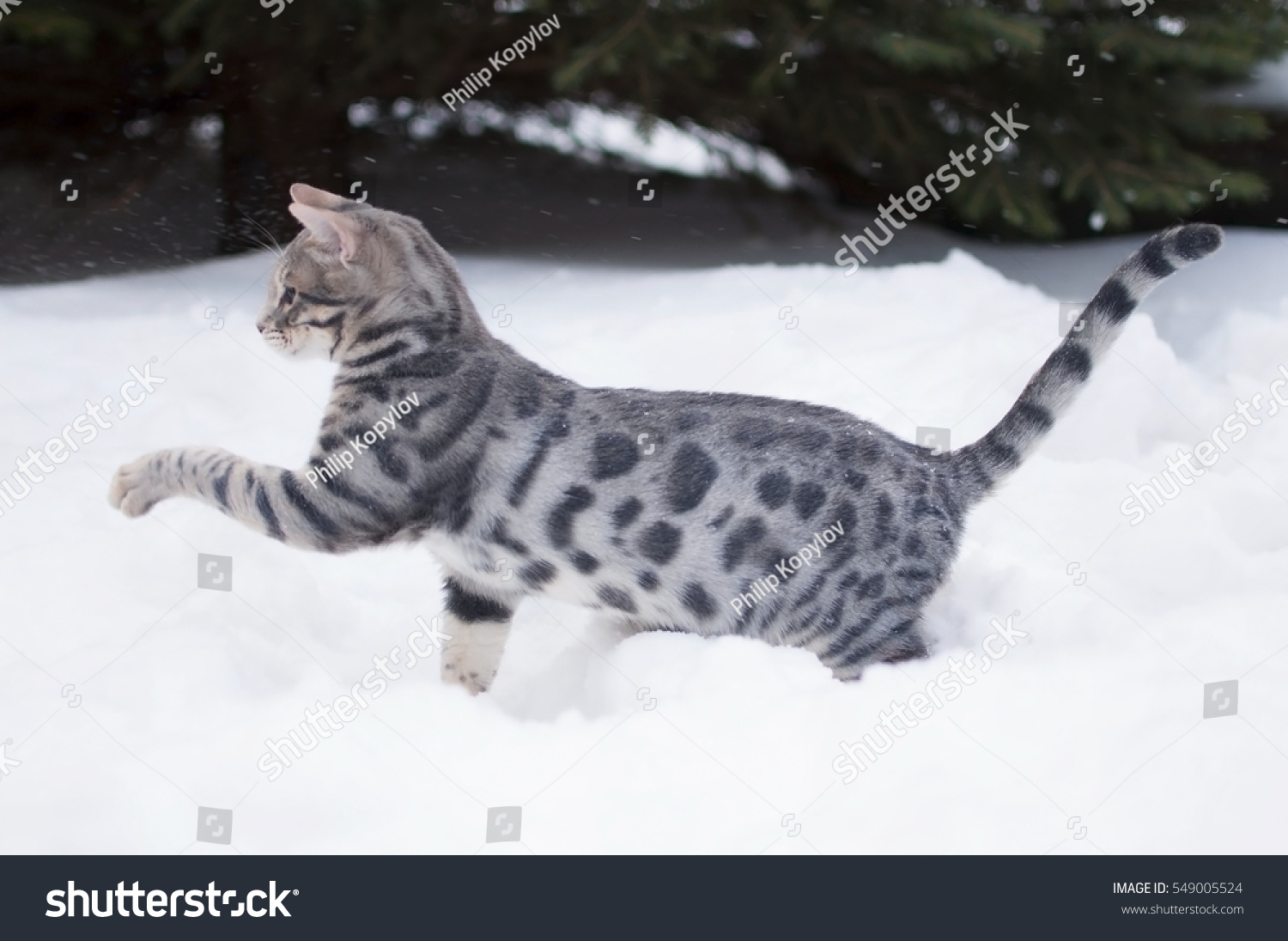 Blue Spotted Tabby Bengal Kitten On Stock Photo Edit Now 549005524
