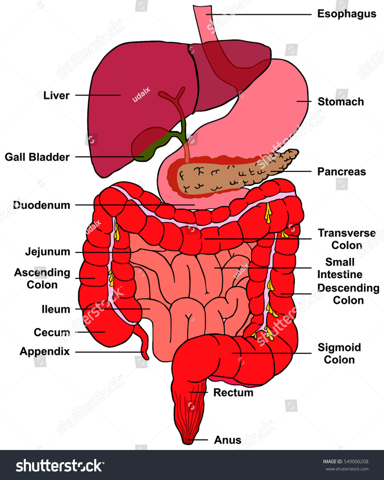 Digestive System Human Body Anatomy All Stock Vector Royalty Free