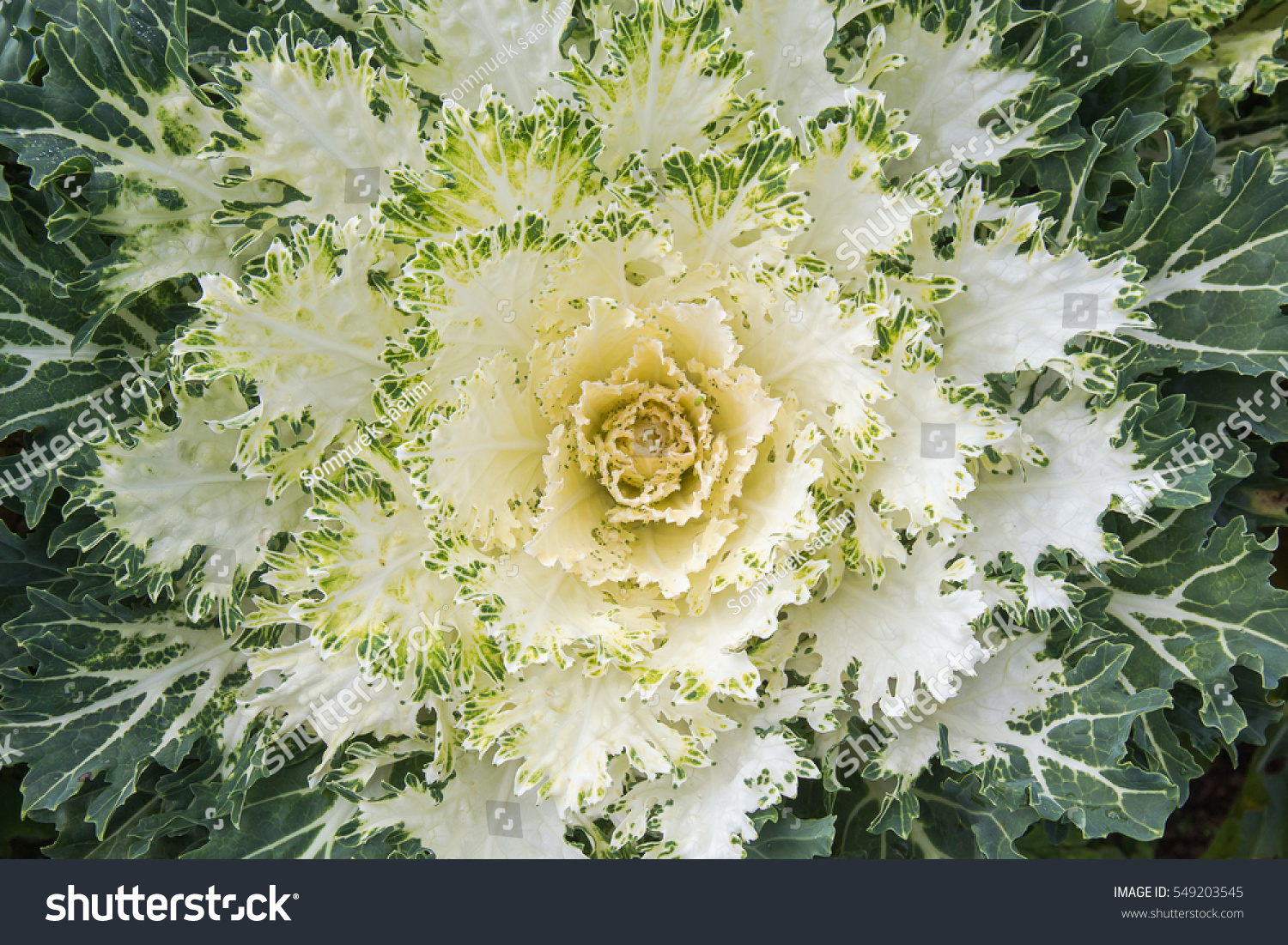White Ornamental Cabbage Plants In Flower Pot At Doi Angkhang Royal