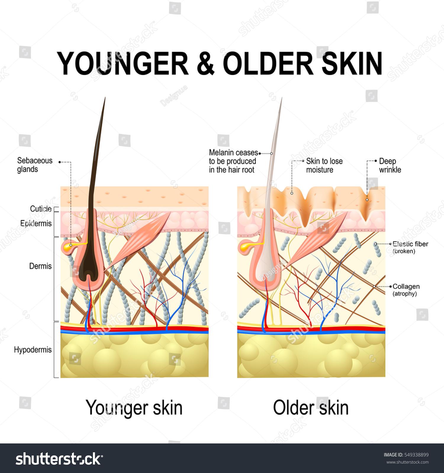 Human Skin Changes Ageing Skin Diagram Stock-Vektorgrafik 549338899 ...