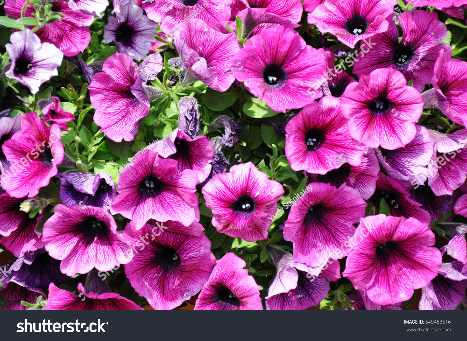 Background Of Colorful Pink Bindweeds Texture Of Pink Flowers And