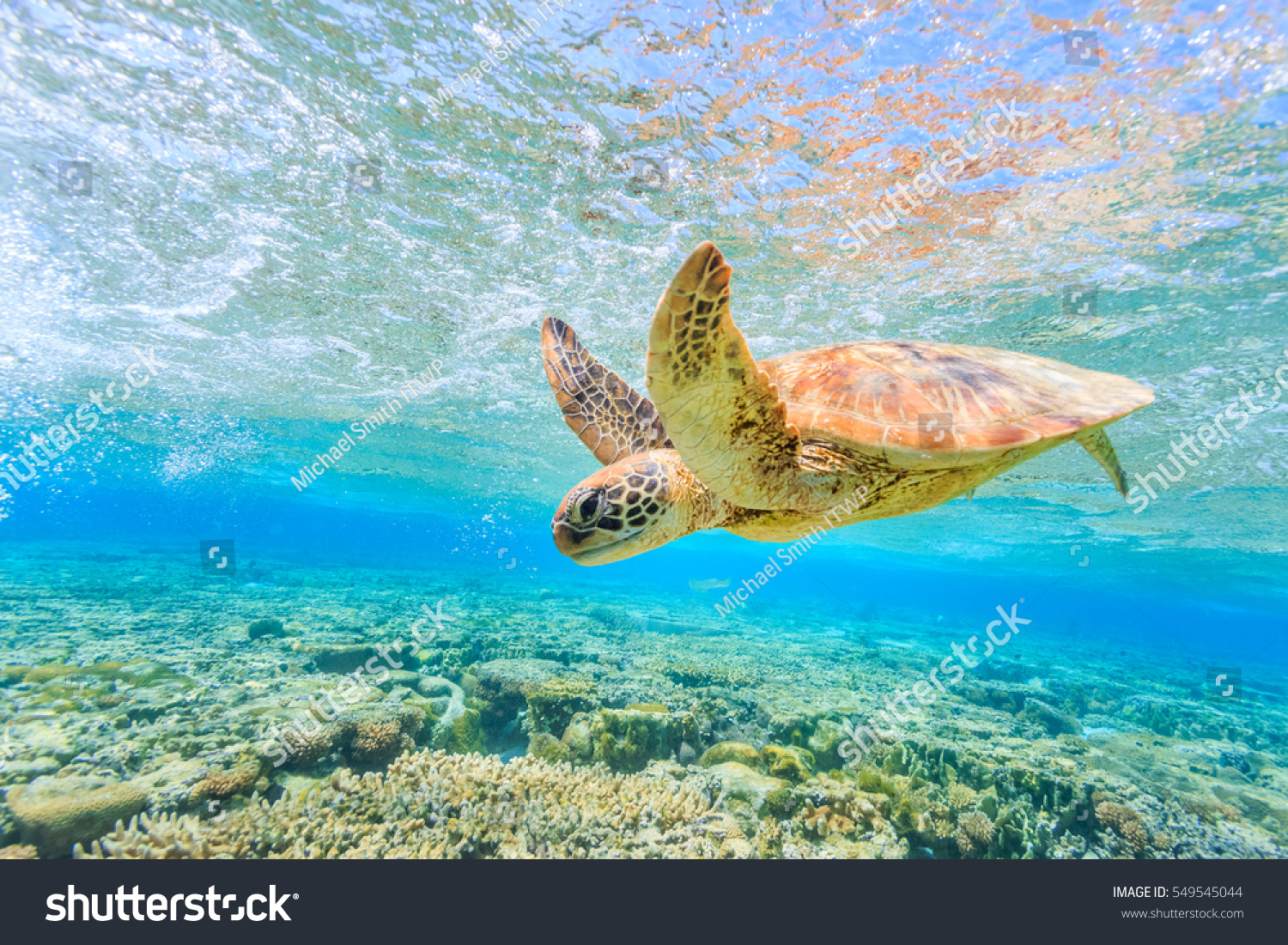 A turtle diving back to the reef in a shallow lagoon on Lady Elliot Island #549545044