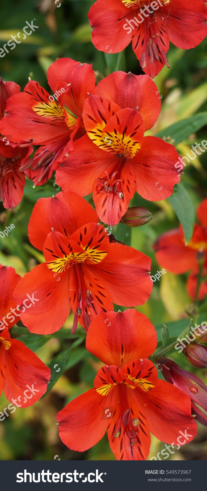 Bunch Of Alstroemeria Princess Isabella Flowers Ez Canvas