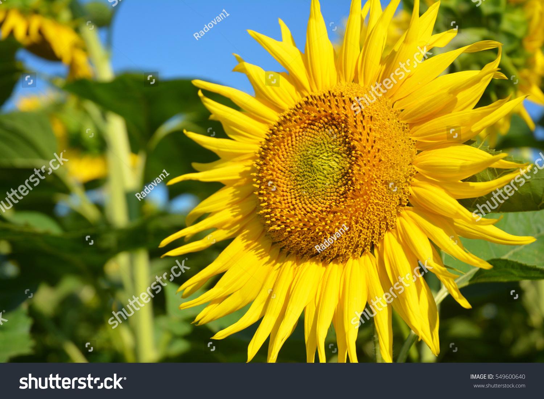 sunflowers field, sunflower photo, sunflower wallpaper. close up