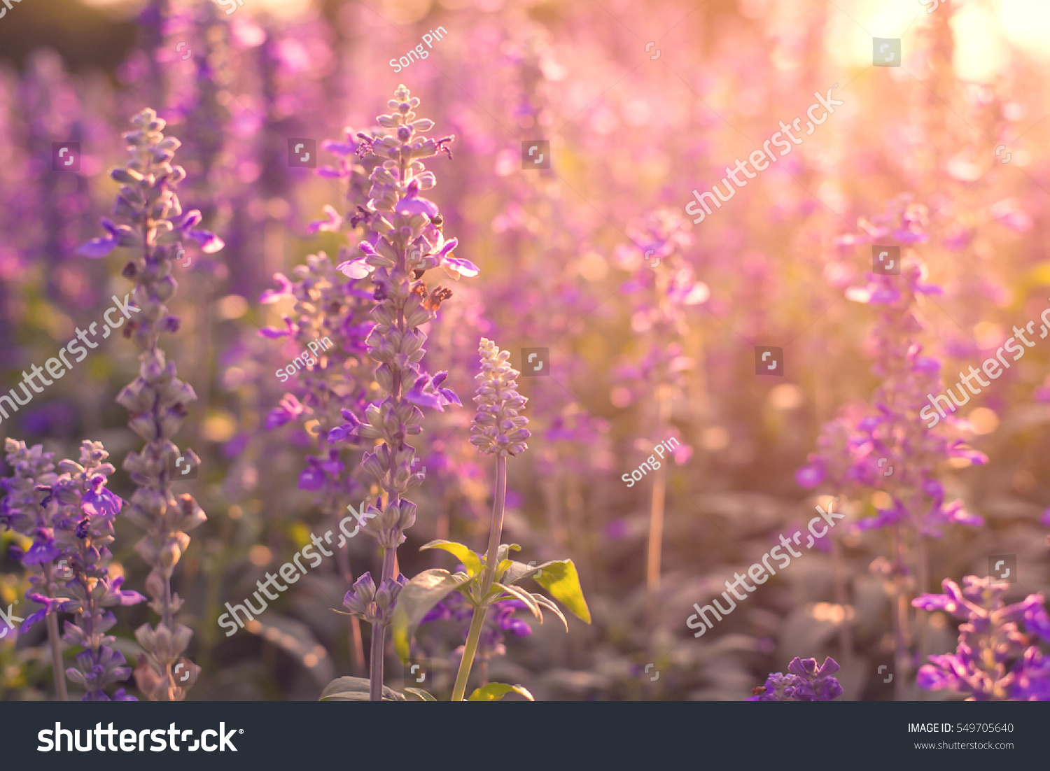 Beautiful lavender flowers garden stock photo edit now 549705640 beautiful lavender flowers in the garden izmirmasajfo