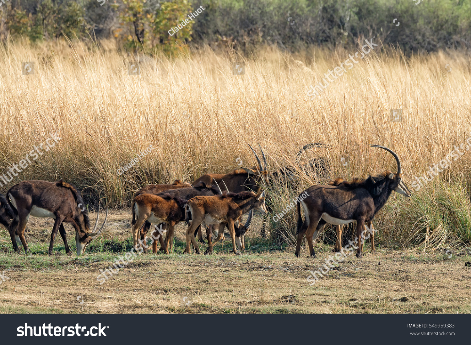 Herd of sable antelope (Hippotragus niger) feed around tall golden grass in the Mahango Game Reserve inside the Bwabwata National Park, Caprivi Strip, Namibia