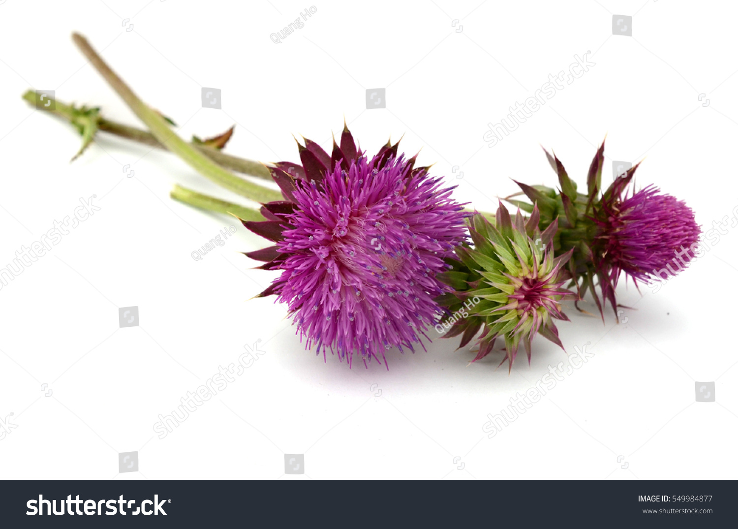 Thistles Flower And Bud Isolated On White Ez Canvas