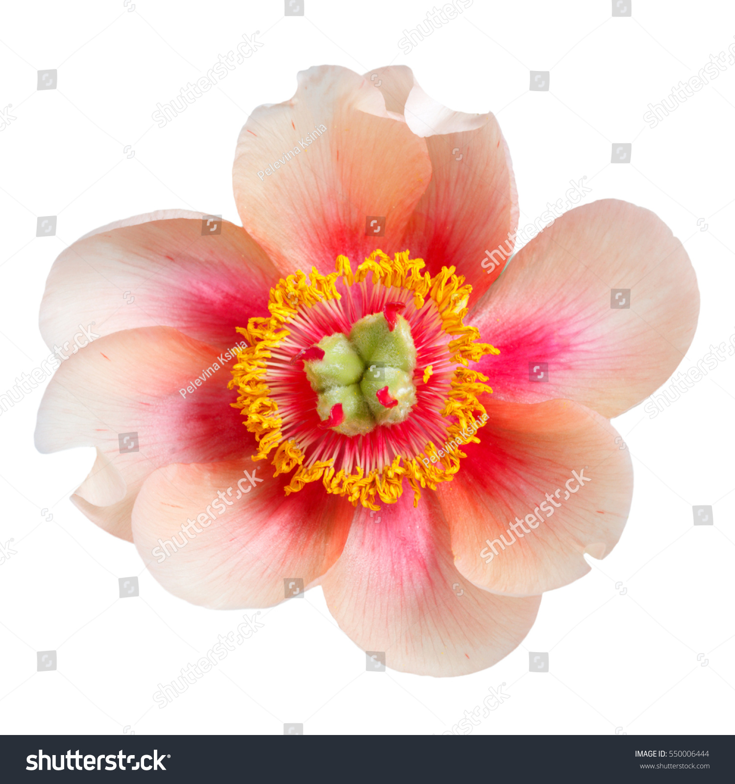 Flower Peony Unusual Bright Colors Isolated Stock Photo (Royalty ...