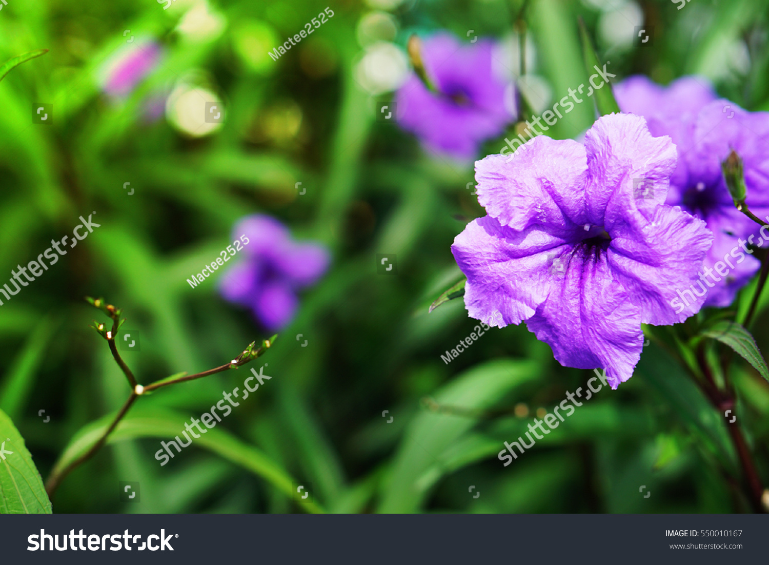 Ruellia tuberoza close up beautiful purple flowers with blur green id 550010167 izmirmasajfo