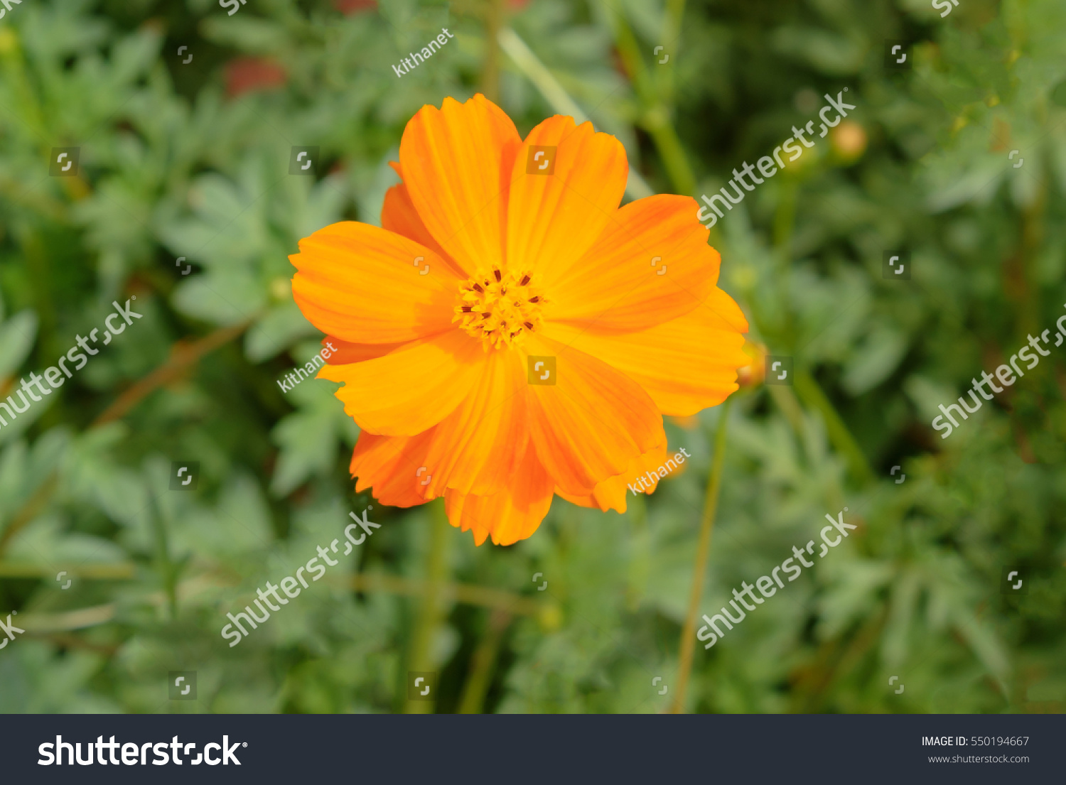 Closed up yellow cosmos flower with blur background ez canvas id 550194667 mightylinksfo