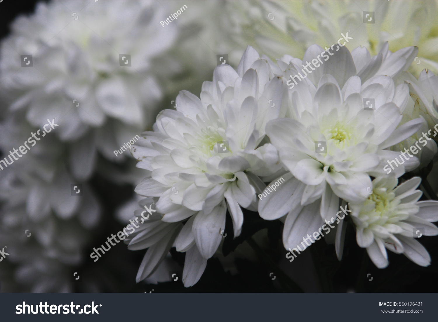 Flowers Are White Flowers With Yellow Stamens Ez Canvas