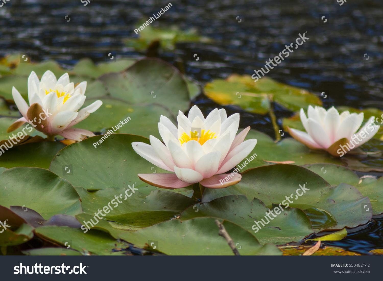 Three Lotus Water Lily Flowers Kirstenbosch Stock Photo Edit Now