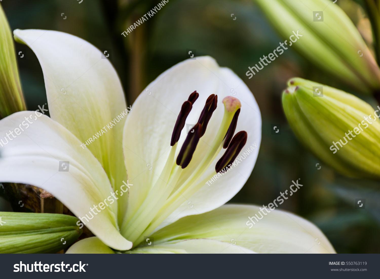 White flowers lilium candidum madonna lily stock photo 550763119 white flowers of lilium candidum madonna lily in flower garden in sunmmer day izmirmasajfo Gallery