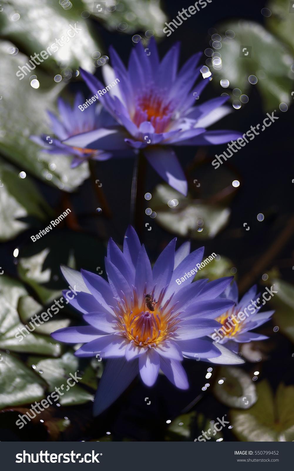 Beautiful Water Lilies Beautiful Lilies Flower Stock Photo Royalty