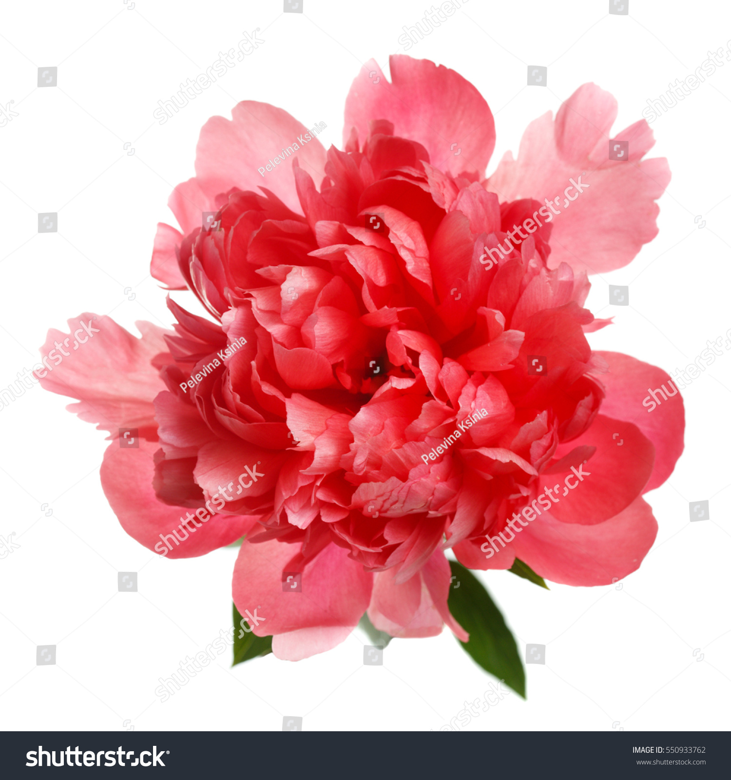 Flower Rare Salmoncolored Peony Isolated On Stock Photo (Royalty ...